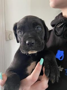 Full pedigree cane Corso puppies for sale in Kuwait Rottweiler Puppies For Sale, Free Puppies, Little Puppies, Dogs And Puppies, Shih Tzu Puppy, Beagle Puppy, Blue Cane Corso Puppies, Puppy Finder, Pet Vet