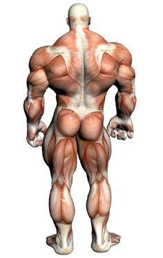 Muscular System - Muscular Anatomy via PinCG.com