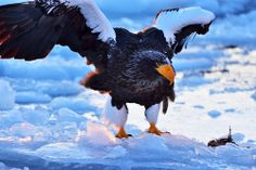飛立つ大鷲