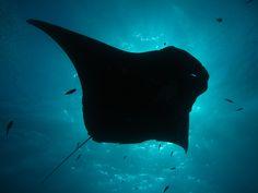 Lady Elliot Island - Manta Ray - Photo by Chris Garraway #australia #thisisqueensland