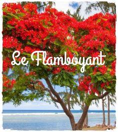 Recouvert de sa parure rouge vive, le flamboyant, c'est un peu notre sapin de Noël naturel puisqu'il n'est fleuri que durant l'été mauricien c'est à dire aux alentours de novembre décembre. Un arbre ornemental aux vertus médicinales méconnues...