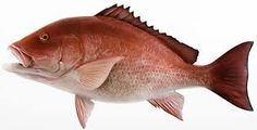 Image result for red snapper fish