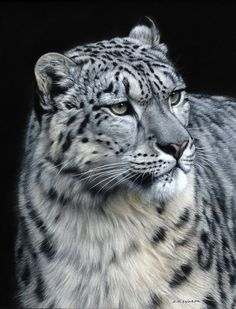 Gary Stinton Snow Leopard III - Eye to Eye Pastel on museum board 17 x 13 ins x Cute Baby Cats, Cute Baby Animals, Wild Animals, Beautiful Cats, Animals Beautiful, Snow Leopard Endangered, Snow Leopard Wallpaper, Types Of Wild Cats, Snow Leopard Tattoo