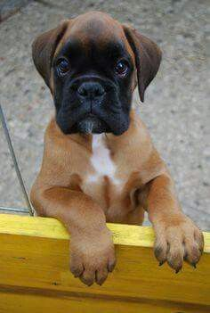 What a Beautiful Boxer baby this is ♡ Love this! Because I have a boxer 😍 Family Friendly Dogs, Friendly Dog Breeds, Boxer And Baby, Boxer Love, Beautiful Dogs, Animals Beautiful, Cute Puppies, Dogs And Puppies, Funny Boxer Puppies