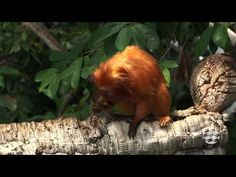 Golden Lion Tamarin Monkeys