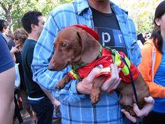 Firefighter dachshund