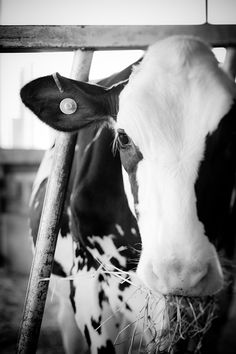 La Vache - home decor - cows and farm animals - kids room decor - black and white fine art photography. $20.00, via Etsy.
