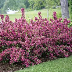 Sonic Bloom™ Pink Weigela - 4-5' tall and wide - an incredibly prolific reblooming Weigela, with a heavy flush in late spring and then continuing all summer and fall - magnet for hummingbirds, and is generally unpalatable to deer