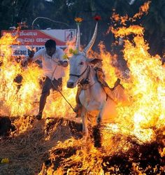 Farmers in karnataka (India) celebrate their pongal harvest festival by making the bulls run on the fire. The bulls are beautifully decorated with colours and f...ancy dress, making the entire horror show appear as if the suffering bull is enjoying it. And these are the same people who worship the 'Holy Cow' and become angry if someone eats beef.  Should not the real love for animals come from treating them with dignity rather than torturing them in the name of worship?