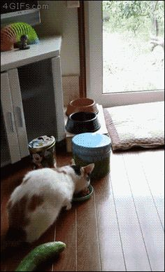 Cats & Cucumbers ( 7 gifs) – ToGAGs – Daily GAGs, JOKEs and LOLs! Cats And Cucumbers, Rabbit, Animals, Animales, Bunny Rabbit, Animaux, Bunnies, Bunny, Animal