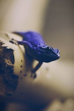 Electric Blue Day Gecko - (Lygodactylus williamsi) Photo by Milan Zygmunt Reptiles Et Amphibiens, Mammals, Beautiful Creatures, Animals Beautiful, Cute Animals, Blue Lizard, Paludarium, Vivarium, Tier Fotos