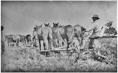 Two mule teams with four mules each working on the Kishi Rice Farms in Terry, Texas.