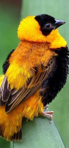 Orange Bishop, native of sub-Saharan Africa, naturalized parts of southern Europe & the   http://beautifulbirdofparadise.blogspot.com