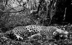 Stunning black-and-white images of African wildlife and the the decline of their habitats are the focus of a new book by David Gulden Black N White Images, Black And White Portraits, Wild Life, Wildlife Photography, Animal Photography, Nature Sauvage, Film Stills, Geek Culture, Pretty Cats