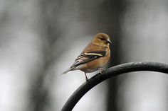 male goldfinch - fall plumage