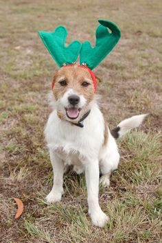 Welcome to Tobin Jack Russell Terriers - Merry Christmas