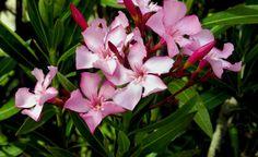 Der Oleander ist eine der beliebtesten Kübelpflanzen. Wir erklären Ihnen, wie Sie den immergrünen Blütenstrauch erfolgreich vermehren können.