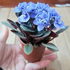 You can grow new African violets from the ones you have using this simple leaf propagation method. It takes just a minute to do and there is minimal care required while you are waiting for the plantlets to grow and mature into flowering plants once again.