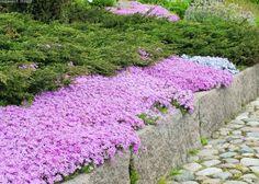 Sammalleimu  Phlox subulata / mossflox on voimakkaasti leviävä maanpeittokasvi. Erinomainen kivikoissa ja rinteissä sekä kukkapenkin reunoilla. Runsas kukinta alkukesällä peittää lehdistön lähes kokonaan.  Kukinta: touko-kesäkuu Kasvukorkeus: 10-15 cm Kasvupaikka: aurinkoinen, lievästi varjoinen Talvenkesto: kestävä