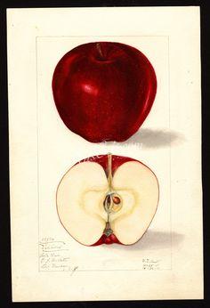 1922-Malus domestica-Delicious      ...