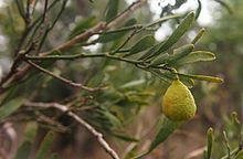 Citrus glauca - known as Desert Lime.  It is a thorny shrub or small tree native to Queensland, New South Wales and South Australia. It is highly prized bushfood used in a range of products, including marmalades, beverages and glaced fruit.  It has a strong lime like flavour & is wild harvested. Keva xo