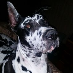 DAPHNE DIAMONDS  GREAT DANE HARLEQUIN