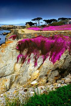 Lover's Point, Pacific Grove, California. Fuschia flowers carpet the entire coastal trail through Pacific Grove in the spring and summer. Places Around The World, Oh The Places You'll Go, Places To Travel, Places To Visit, Around The Worlds, Travel Destinations, Pacific Grove California, California Dreamin', Monterey California