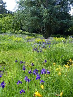 Les iris de Sibérie et les hémérocalles prennent progressivement le relais des camassias et des Euphorbia palustris encore visibles à l'arrière-plan
