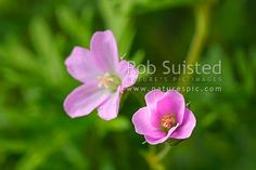 NZ native Geranium (Geranium solanderi), now as Matua kumara, a threatened plant from Auckland, New Zealand (NZ) stock photo. Quality New Zealand images by well known photographer Rob Suisted, Nature's Pic Images.