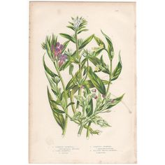 Anne Pratt antique 1860 botanical print, Pl 143 Gromwell, Flowering Plants  | eBay