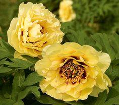 Paeonia suffruticosa High Noon - White Flower Farm