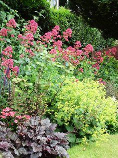 Red valerian and alchemilla mollis - Sharon Parfett Garden.  *Behind salvia*