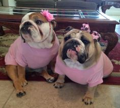 """Every bully baby is beautiful --- but these """"girls"""" are just OMG CUTE! The look on their little faces is as cut as the pink bows!"""