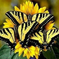 Trio of western tiger swallowtail butterflies. yellow and black butterflies on yellow flowers Butterfly Kisses, Butterfly Flowers, Butterfly Bush, Butterfly Pictures, Yellow Flowers, Butterfly Feeder, Monarch Butterfly, Butterfly Wings, Beautiful Bugs