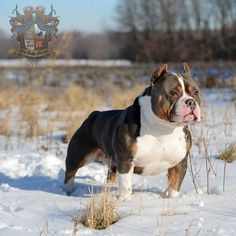 The most winning American Bully in the history of the breed. AKA - Grand Champion Beastro.