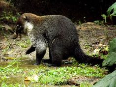 Nasua, a beautiful and friendly little animal in Monteverde Cloudforest.  http://www.monteverdecloudforesttrain.com