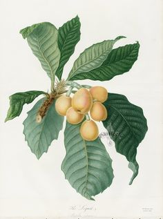 The Loquat, Mespilus japonica, Loquat Print from Vintage Prints of Amaryllis Regina Lily, Peony, Passion flower, Orchid