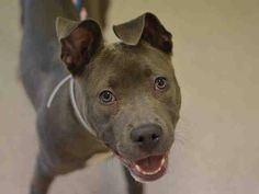 SAFE --- Manhattan Center   AURA - A1018865   FEMALE, BLUE / WHITE, AM PIT BULL TER, 8 mos STRAY - STRAY WAIT, NO HOLD Reason STRAY  Intake condition EXAM REQ Intake Date 10/27/2014, From NY 10024, DueOut Date 10/30/2014,   https://www.facebook.com/photo.php?fbid=896264340386446