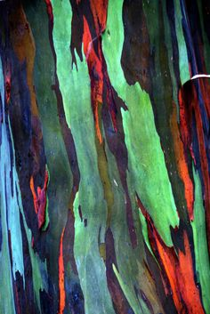 Rainbow Eucalyptus tree | by artbyts