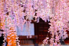 The weeping cherry tree (Prunus subhirtella), with its pink or white blossoms, will be a showpiece in your landscaped yard or garden. Weeping cherries