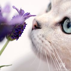 "From @fifemi.nuri: ""Happy Summertime 💜"" #catsofinstagram [source: http://ift.tt/29VJi1Z ]"