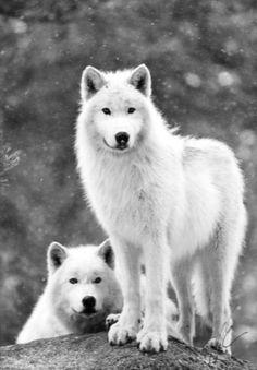 Lobos Brancos.