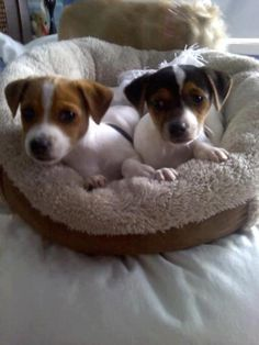 Jack Terrier, Fox Terrier, Jack Russell Terrier, Cute Baby Puppies, Cute Dogs, Dogs And Puppies, Doggies, Chien Jack Russel, Jack Russell Puppies