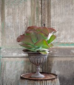 The unique Kalanchoe thyrsiflora plant, usually called the Paddle Plant is an unusual wavy plant with red-tipped leaves. It is really easy to take care of ... for good drainage place some pebbles and activated charcoal in the container before adding the potting soil