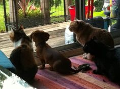 Scooby and his pack, Dachshunds Rule