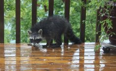 Raccoon pays visit to soggy Innsbrook Resort property
