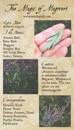 The Magic of Mugwort at Hagstone Publishing Plant Magic, Magic Herbs, Herbal Magic, Green Witchcraft, Witchcraft Herbs, Witch Herbs, Wiccan Spell Book, Witchcraft For Beginners, Eclectic Witch