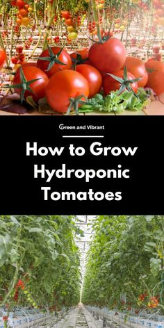 It comes as no surprise that tomatoes are among the most popular crops for both commercial and enthusiast hydroponic grow operations. Let& explore how to grow hydroponic tomatoes. Hydroponic Tomatoes, Hydroponic Strawberries, Hydroponic Lettuce, Greenhouse Tomatoes, Hydroponic Vegetables, Hydroponic Farming, Indoor Aquaponics, Hydroponic Growing, Hydroponic Plants