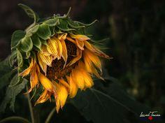 Sunflower Sowing Seeds in Autumn - Nature - Flower Art - Flower Photo - Wall Art - Unframed Print - Unique Gift Sunflower Art, Sunflower Pictures, Autumn Nature, Outdoor Art, Flower Photos, Champs, Gardening Tips, Wall Art Prints, Canvas Prints