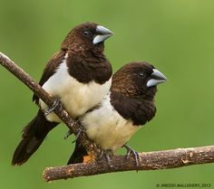 White-rumped Munia or White-rumped Mannikin by Jineesh Mallishery